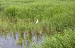 Petit garzetta blanc d'Egretta de héron en vol au-dessus du marais entre les roseaux photographie stock libre de droits