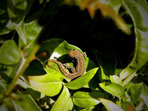 Petit gecko photos stock