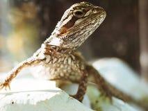 Petit gecko blanc image libre de droits