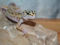 Petit gecko de léopard sur une pierre Fin vers le haut Images stock