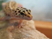 Petit gecko de léopard sur une pierre Fin vers le haut photo stock