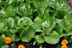 Petit Gem Romaine Lettuce Photo stock