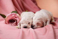 Petit golden retriever de chiot Images stock