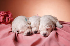 Petit golden retriever de chiot Photo stock