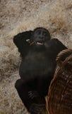 Petit gorille avec un panier images libres de droits