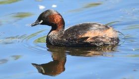 Petit grèbe dans le plumage d'été à la réservation de marais de Rainham dans Essex photos stock