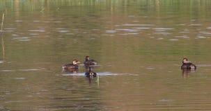 Petit grèbe sur l'étang avec ReflectionBabies banque de vidéos