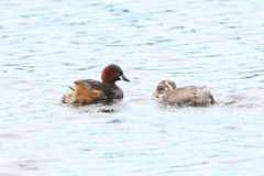 Petit grebe Photos stock