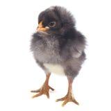 Petit gris du poulet pileated d'isolement sur le blanc Image libre de droits