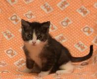 Petit gris-foncé avec le chaton blanc Photographie stock