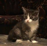 Petit gris-foncé avec le chaton blanc Photo stock