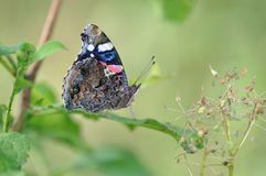Petit groupe d'amiral rouge Butterfly Photos stock