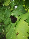 Petit groupe d'amiral rouge Butterfly Photo stock