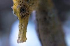 Petit groupe de la tête d'un hippocampe des Caraïbes photographie stock