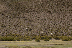 Petit groupe de marche de lamas Photos stock