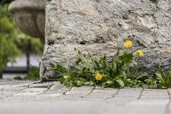 Petit groupe de mauvaises herbes de pissenlit Photo stock