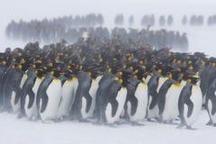 Petit groupe de pingouin de roi image libre de droits