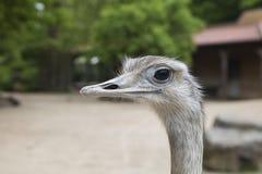 Petit groupe de tête d'autruche dans le zoo images libres de droits
