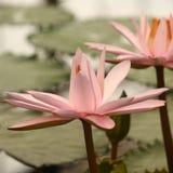 Petit groupe de tête de fleur rose de nénuphar Photo stock