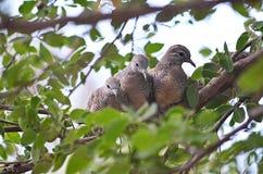 Petit groupe de trois colombes de zèbre sur une branche Photographie stock libre de droits