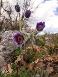 Petit groupe du Montana de Pulsatilla Images stock