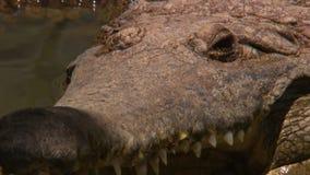 Petit groupe du museau et de la tête d'un crocodile d'eau douce banque de vidéos