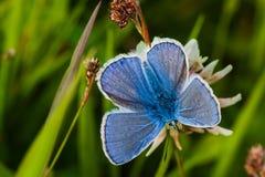 Petit guindineau bleu Images stock