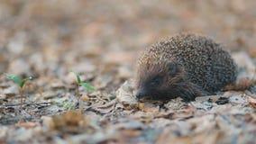 Petit hérisson courageux futé passant sa vie sur le tapis qui consistent des feuilles sèches jaunies dans la forêt banque de vidéos