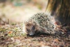 Petit hérisson dans une forêt photo stock