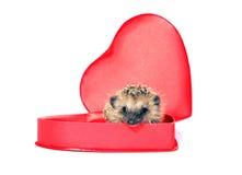Petit hérisson de forêt dans un boîte-cadeau rouge dans la forme de coeur Image stock