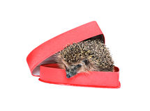 Petit hérisson de forêt dans un boîte-cadeau rouge dans la forme de coeur Photographie stock libre de droits