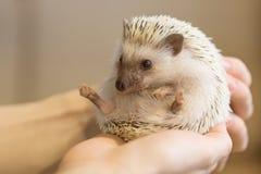 Petit hérisson mignon dans des mains femelles Albiventris d'Atelerix photographie stock libre de droits