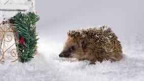 Petit hérisson recherchant le fourrage dans la neige Photographie stock libre de droits