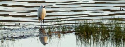 Petit héron au bord de lac Photo libre de droits
