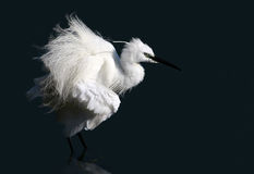 Petit héron blanc image stock