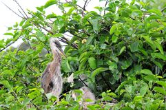 Petit héron de grand bleu dans le nid dans le marécage Images stock