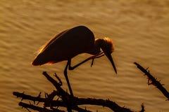 Petit h?ron en parc national de Kruger, Afrique du Sud photos libres de droits
