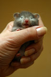 Petit hamster   photo stock