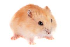Petit hamster drôle d'isolement sur le fond blanc Photo stock