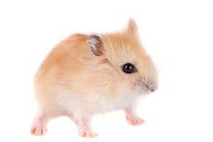 Petit hamster drôle d'isolement sur le fond blanc Photos stock