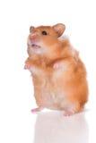 Petit hamster rouge se levant Photos libres de droits