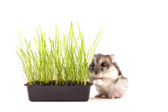 Petit hamster se cachant dans l'herbe verte Photographie stock