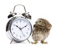 Petit hibou, 50 jours de, noctua d'Athene Image libre de droits