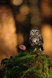 Petit hibou avec le champignon Photos libres de droits