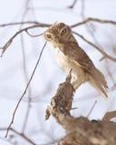 Petit hibou dans un arbre Photo stock