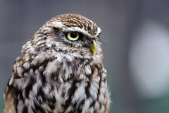 Petit hibou (noctua d'Athene) Photo stock