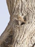 Petit hibou--Noctua d'Athene Images stock