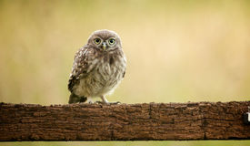 Petit hibou sauvage Photo libre de droits
