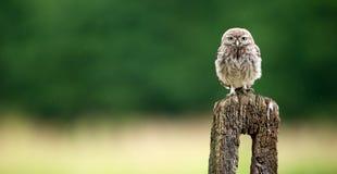 Petit hibou sauvage Photo stock