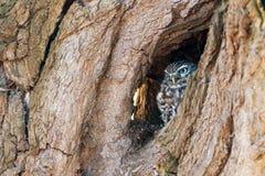Petit hibou se cachant dans un arbre Image stock